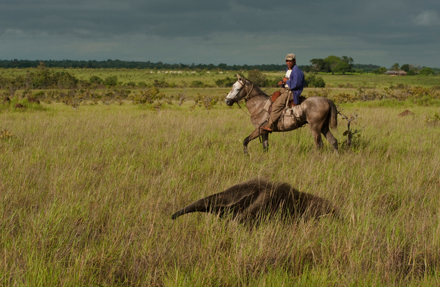 Follow a local cowboy to find giant anteaters.