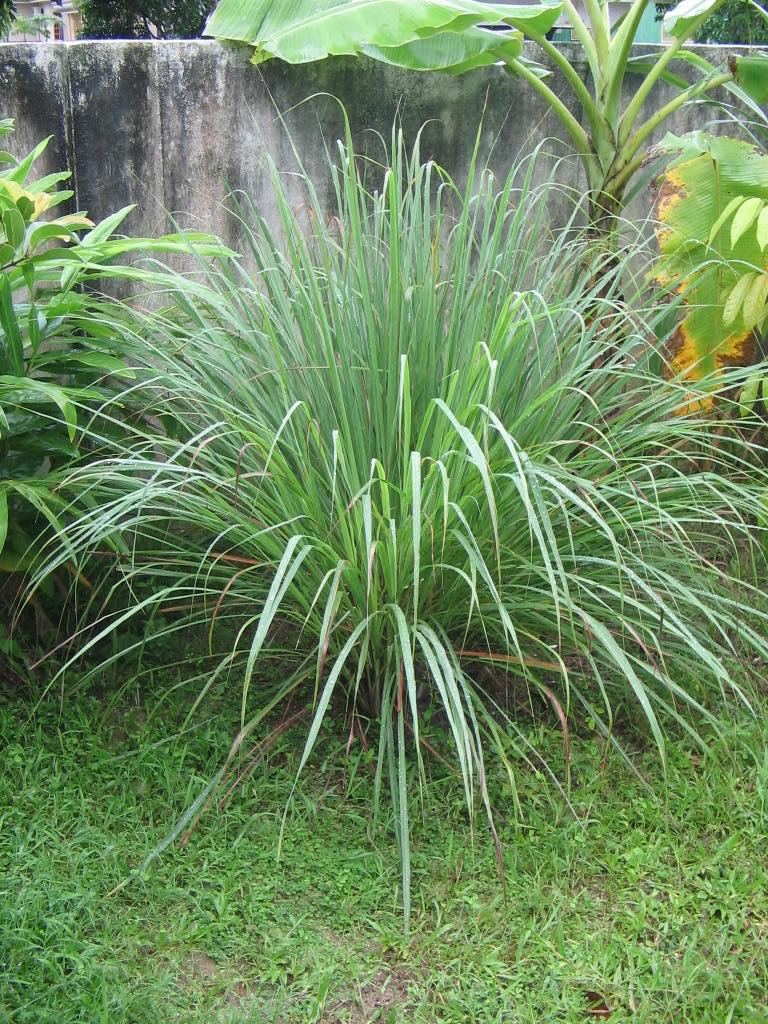 lemongrass guyana
