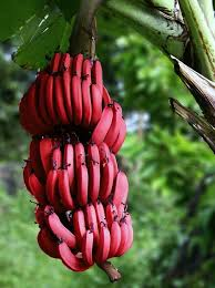 red bananas guyana2